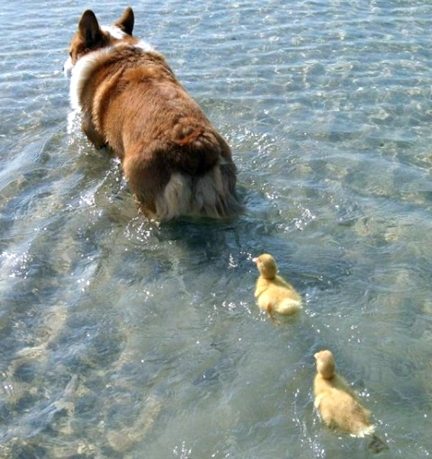 duck mommy dog