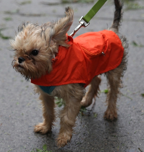 wet and cold little dog in the wind and rain