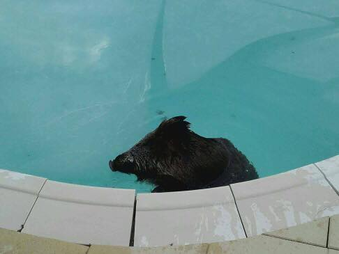 Un sanglier s 39 invite dans la piscine d 39 un alsacien puis for Piscine selestat