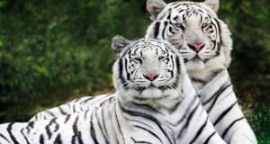 Beli tigrovi