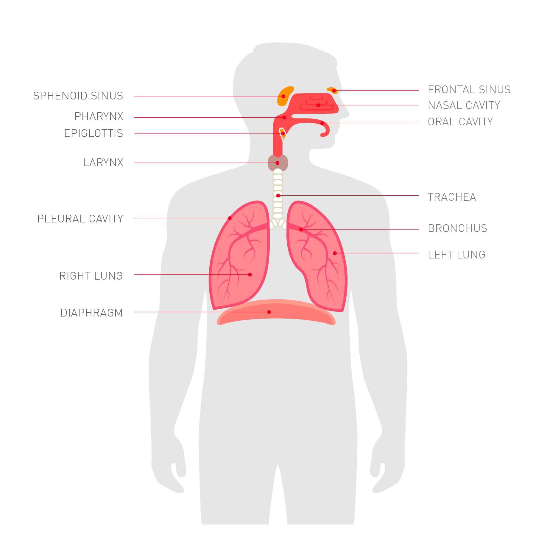 hight resolution of organs of the lower respiratory tract are positioned within the chest cavity and are protected by the ribcage sternum chest bone and muscles that sit