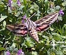 White Lined Sphinx Moth image