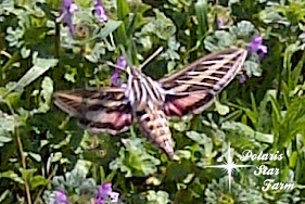 White Lined Sphinx Moth drinking nectar from Henbit flowers.
