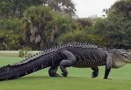 GRANDE SUSTO: Jacaré gigante invade campo de golfe nos EUA