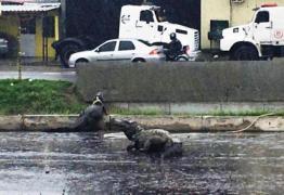 VEJA VÍDEO: durante chuva, jacarés são flagrados atravessando avenida