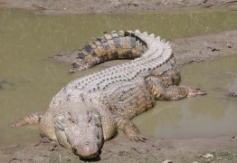 Jogador de futebol morre após ataque de crocodilo