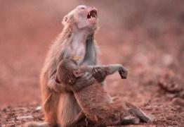 Fotógrafo clica instante perfeito de macaca chorando desesperadamente pelo filhote inconsciente
