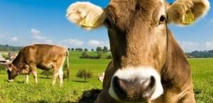 vaca marrom 300x146 - SURPREENDENTE: Norte-americanos acreditam que achocolatado vem de vacas marrons