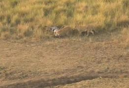 VEJA VÍDEO: Zebra escapa devirar comida de crocodilo e é pega por leoas