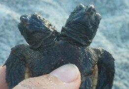 Pesquisadores encontram tartaruga marinha de duas cabeças em praia nos EUA
