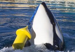 Cientistas identificam pela primeira vez orca capaz de imitar palavras