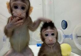 ONG diz que clonagem de macacos é 'espetáculo de horror'