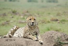 VEJA VÍDEO: Homem sobrevive a ataque de guepardo após ficar parado