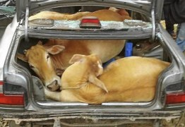NÃO É 1º DE ABRIL – Homens são presos com 4 vacas roubadas dentro de Fiat Uno
