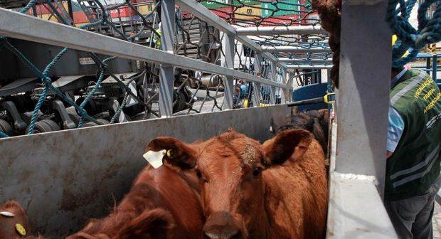 Exportação de animais vivos para abate pode ser proibida