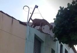 Cabra sobe em telhados de casas e só desce com ajuda de bombeiros, em Cajazeiras