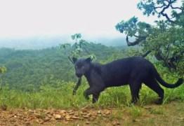 Biólogos registram rara imagem de 'pantera negra' que não era vista há 3 anos