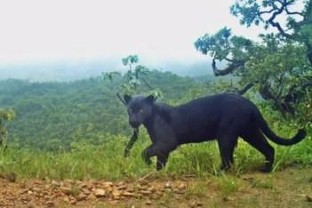 ONCA NEGRA 14 12 2018 300x200 - Biólogos registram rara imagem de 'pantera negra' que não era vista há 3 anos