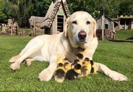 Labrador adota patinhos órfãos e vira mãe deles – VEJA VÍDEO