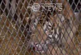 Homem entra em casa abandonada para fumar maconha e encontra tigre