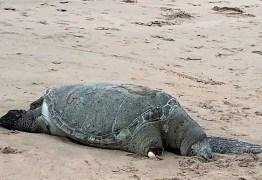 Três tartrugas marinhas são encontradas mortas no litoral da grande João Pessoa