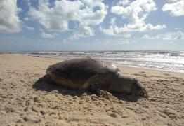 Tartaruga marinha gigante é encontrada morta em Barra de Gramame