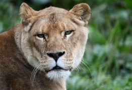 Caçador ilegal é morto por elefante e devorado por leões na África do Sul