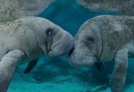 Peixes-bois fazem orgia em alto mar e momento íntimo causa comoção: VEJA VÍDEO