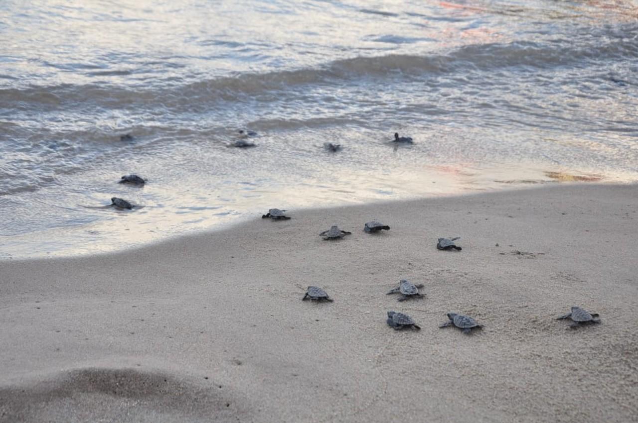 Mais de 140 tartarugas marinhas nascem em praia de Pernambuco