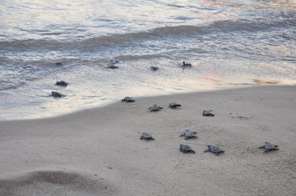 tartarugas 1024x680 - Mais de 140 tartarugas marinhas nascem em praia de Pernambuco