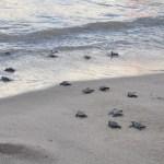 tartarugas - Mais de 140 tartarugas marinhas nascem em praia de Pernambuco