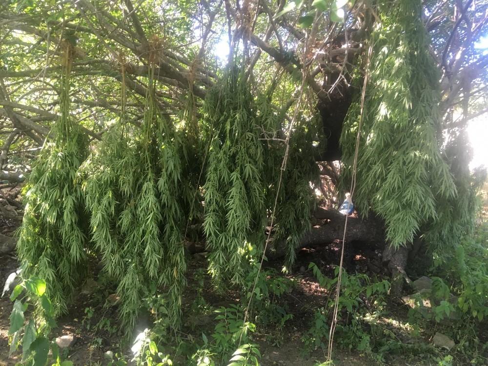 maconha teixeira - COLHEITA FELIZ: Polícia encontra mais de 700 pés de maconha durante operação em Teixeira, PB