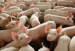 Porcos geram energia no Brasil