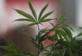 'A maconha não será remédio de acesso livre', diz chefe da Anvisa