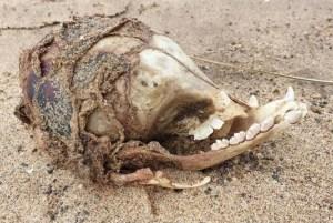 1 foto 12787360 300x201 - Caveira de 'ET' é encontrada em uma praia e assusta internautas; confira