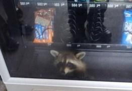 Guaxinim 'ladrão' fica preso em máquina de lanches