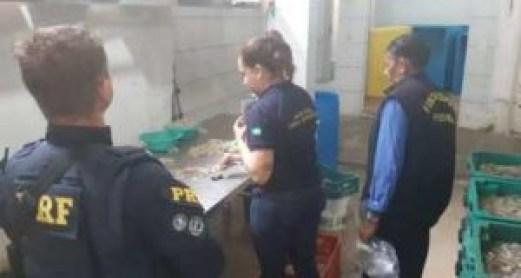 PRF camarões 300x160 - Operação da Polícia Federal apreende 4,5 toneladas de camarões comercializados de forma clandestina - VEJA VÍDEO