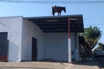 cavalo telhado - Cavalos sobem em telhados e são resgatados por guinchos - VEJA VÍDEO