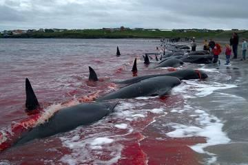 faroe islands - FAKE NEWS: Vídeo de caça às baleias que Bolsonaro postou não é da Noruega