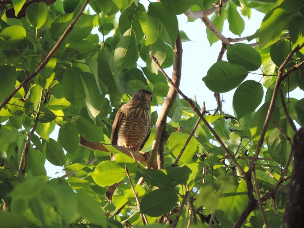 087 - NINHO DE GAVIÃO: Vídeo mostra ataque de ave que 'persegue' moradora há um mês - ASSISTA