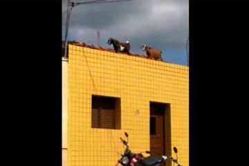 Cabras no telhado: animais comem fios de casas em Sertãozinho – VEJA VÍDEO