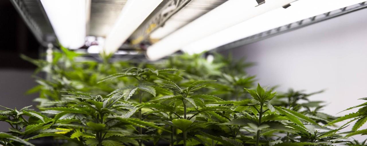 cannabis - 'CALIFORNIA BRASILEIRA': Paraíba é destaque nacional por plantio de maconha para uso medicinal