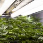cannabis - SEM CONSENSO: deputados adiam votação de projeto que autorizam plantio de Cannabis para fins medicinais