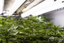 'CALIFORNIA BRASILEIRA': Paraíba é destaque nacional por plantio de maconha para uso medicinal