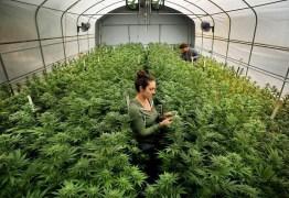 PLANTIO DA MACONHA: Anvisa discute uso da cannabis na medicina e pesquisa – ACOMPANHE AO VIVO