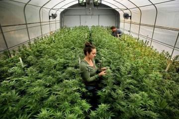 1 - PLANTIO DA MACONHA: Anvisa discute uso da cannabis na medicina e pesquisa - ACOMPANHE AO VIVO
