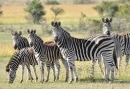 Pesquisadores pintam vaca como zebra e chegam a resultado bizarro