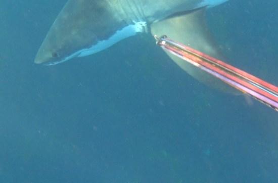 Mergulhador trava batalha pela vida contra enorme tubarão-branco