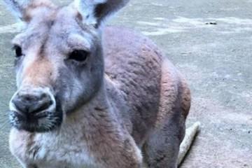 Mulher é espancada por canguru e teve que passar por cirurgia