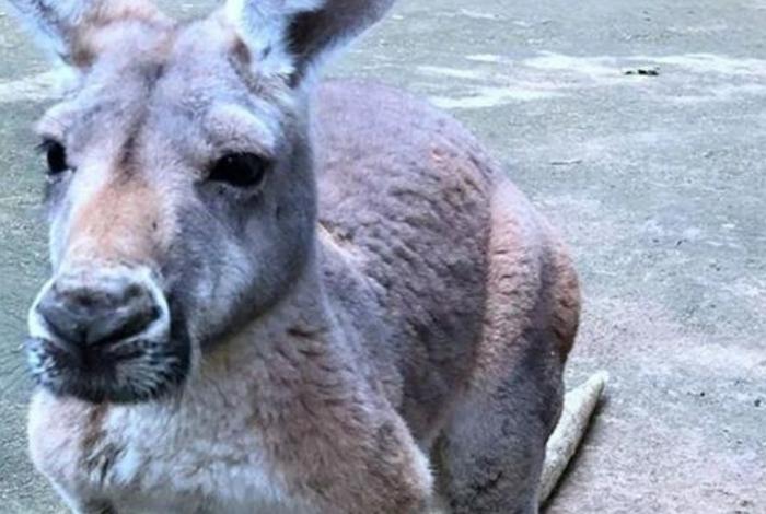 1 1cxhlavcryrnbwrrcr0eeb3vn 14321655 - Mulher é espancada por canguru e teve que passar por cirurgia
